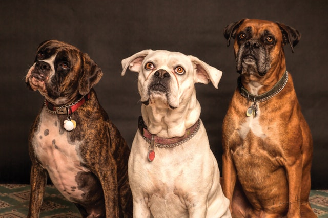 picture of 3 boxer dogs